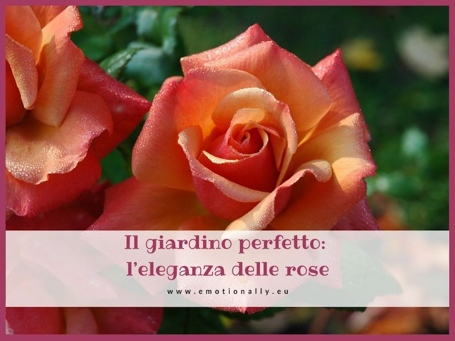 Rose come coltivarle